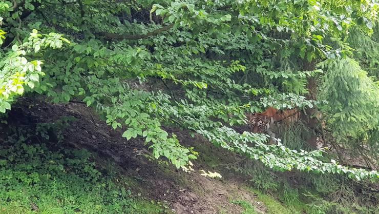 Amurtigerin Irina hält sich im Zoo Zürich noch bedeckt.