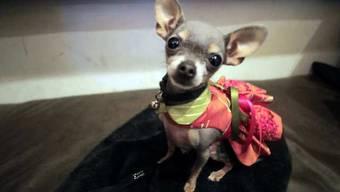 Die britische Polizei sucht nach fünf Chihuahuas (Archiv)