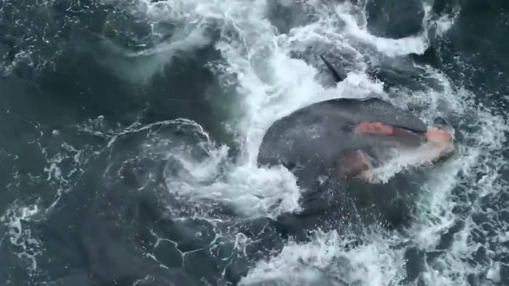 Vierstündiger Kampf ums Überleben: Schwertwale töten Grauwal-Baby