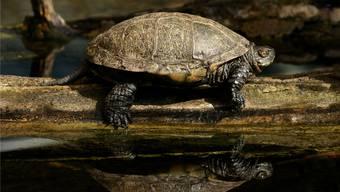 Die Europäische Sumpfschildkröte (hier ein Männchen) ist auch im Freiamt heimisch. zvg