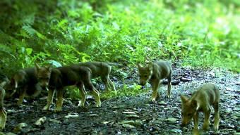 Seit 2011 kommen am Calanda-Massiv jedes Jahr kleine Wölfe mit grossem Hunger zur Welt. Für den Wald ist das gut.