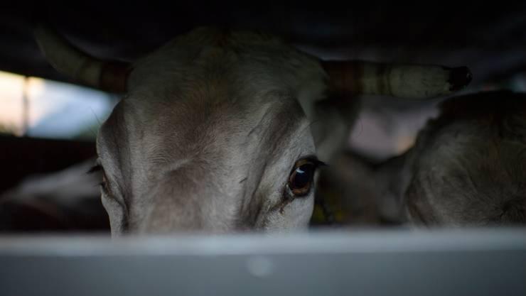Besserer Schutz für Kühe und andere Tiere: Das will die Initiative «Keine Massentierhaltung in der Schweiz» erreichen. Ihre Wirksamkeit ist umstritten.