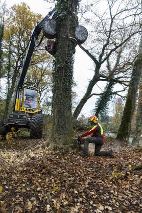 Mit dem Vollernter können zwei Mann einen grossen Baum in wenigen Minuten  fällen.