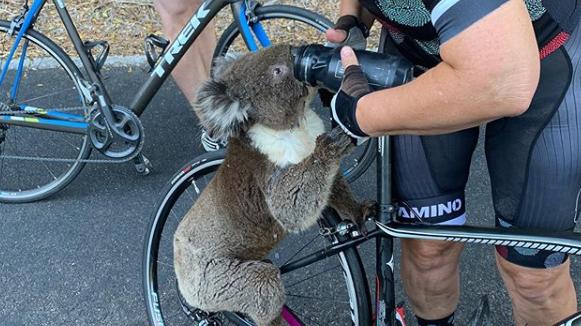 Hilfe war falsch - Koala Arnie ist tot