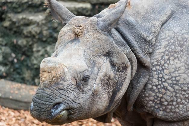 Im Zoo Basel wo seit 1972 das EEP (European Endangered species Programmme) des Panzernashorns koordiniert wird, hofft man nun, dass sich Saar im Parc Animalier et Botanique Branféré mit den dortigen Panzernashörnern besser versteht und vielleicht sogar für Nachwuchs sorgen wird.
