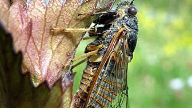 Cicadetta sibillae bevorzugt Laubwälder (Foto: Universität Basel)