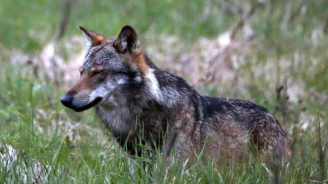 Ein vor einem Jahr im Obergoms fotografierter Wolf