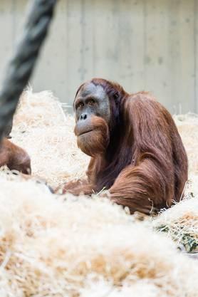 Orang-Utan-Männchen Budi lebt mit Maja zusammen.