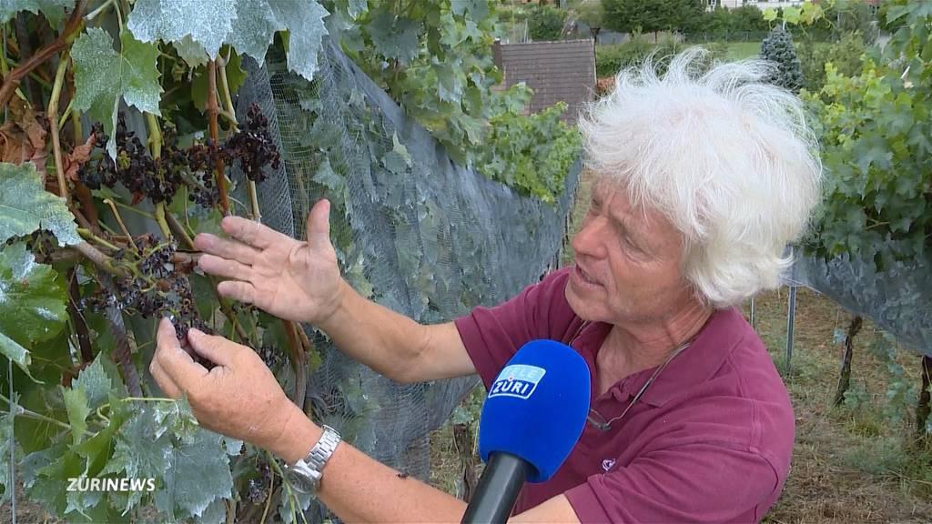 Weinbauern leiden unter gefrässigen Wespen