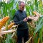 Ein Schweizer Forscherteam hat die Wirkung von neuartigem Gentech-Mais auf die Umwelt untersucht.
