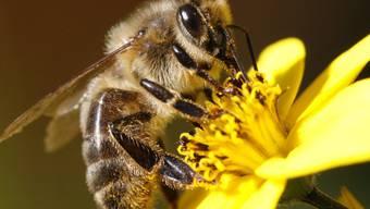 Nicht nur die Testbienen besuchten die Felder, die mit Pestizid behandelt waren. (Symbolbild)