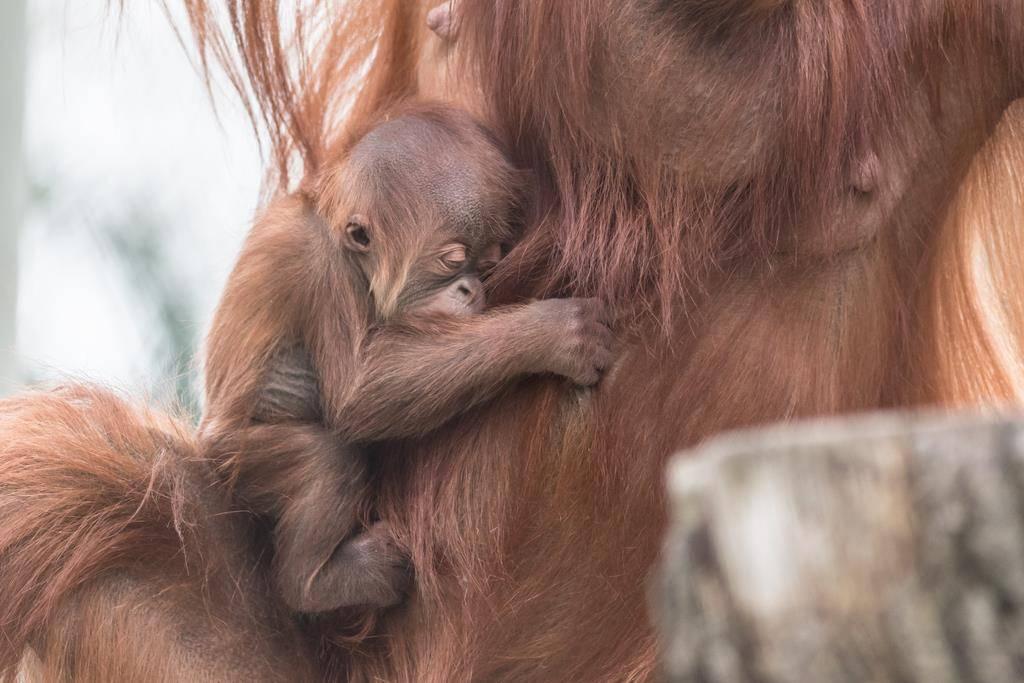 Affen-Baby aus Basel (© KEYSTONE/EPA/AP)