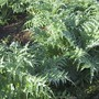 Die Kardy-Pflanze kann zwei Meter hoch werden