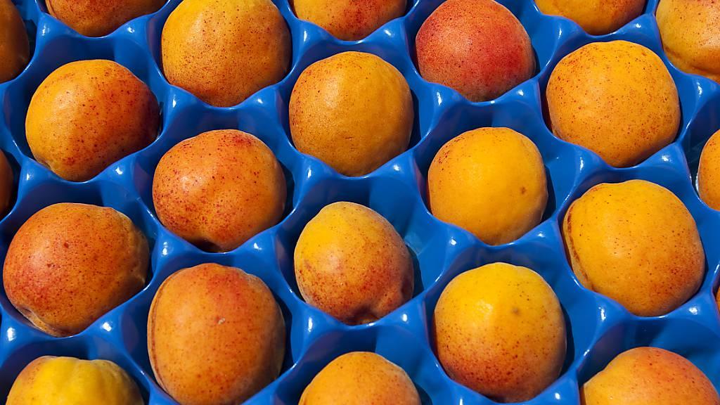 Frost vernichtet rund 85 Prozent der Walliser Aprikosen-Ernte