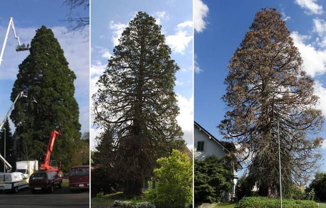 Der Mammutbaum von Oberrohrdorf im Jahr 2005 (links), im Frühling 2015 und heute im Juli 2015