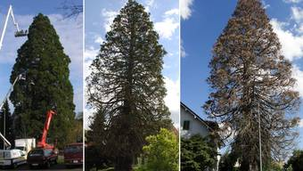 Mammutbaum Oberrohrdorf