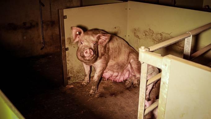 Angezeigt: Schweinemast im Kanton Solothurn