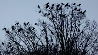 «Krähen können ungemein nerven. Vor allem, wenn man unmittelbar neben einer Kolonie wohnt», schreibt Oliver Menge.