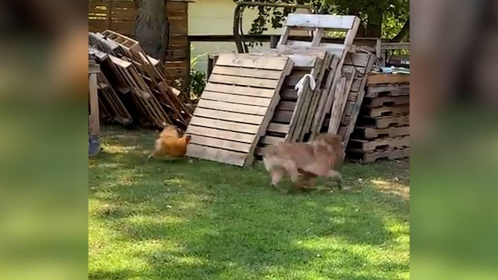 Hund und Hahn spielen «Fangis»