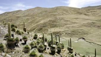 Bedrohte Puya-Raimondii-Pflanzen in Peru (Archiv)