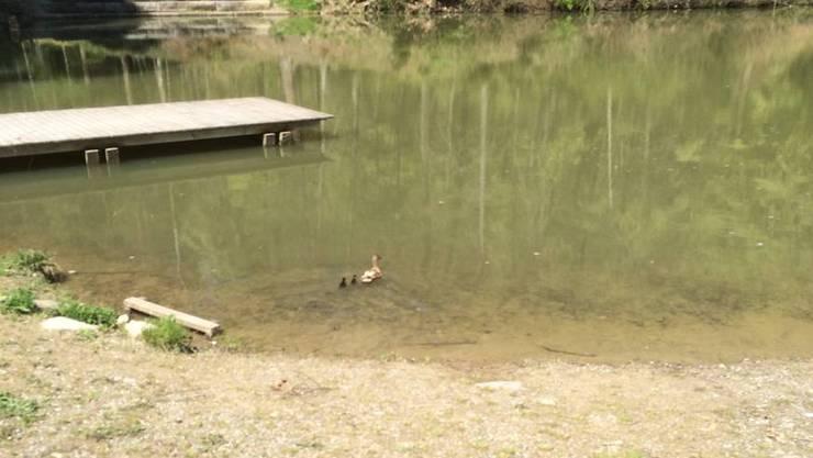Die Entenfamilie schwimmt nun glücklich in den Walcheweihern umher.