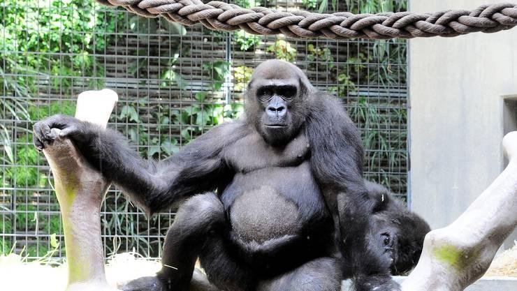 Silberrücken Kisoro zeigt, wer bei den Gorillas der Chef im Hause ist. Foto: Kenneth Nars
