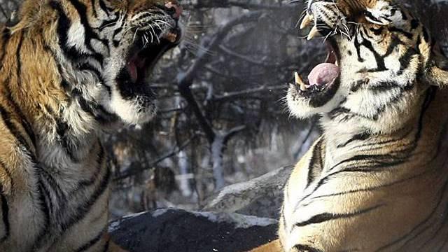 Ein Tiger hat in Kanada seinen Besitzer angefallen (Symbolbild)