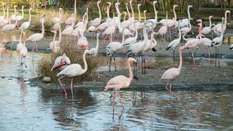 Flamingo-Ballett