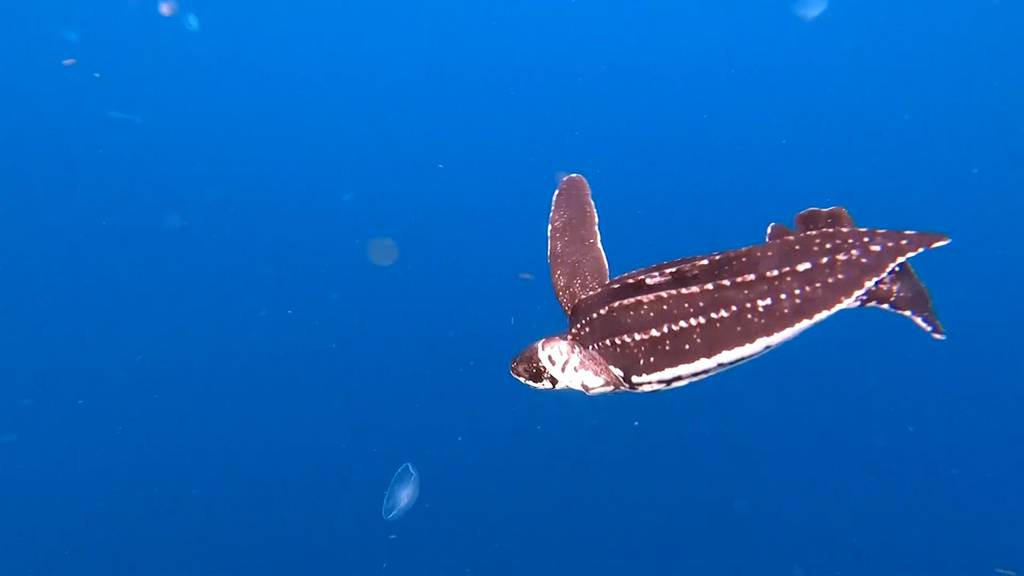 Flosse wie «Nemo»: Happy End für Schildkröte «Victor»