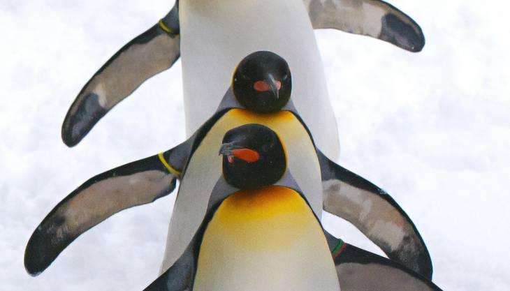 Hier geht's zum Videoüber die Pinguinparade im Zoo Zürich.