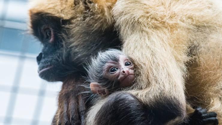 Am 21. April ist im Zoo Basel ein Klammeraffe zur Welt gekommen.