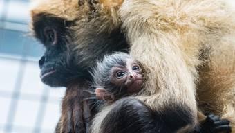 Zoo Basel: Nachwuchs bei den Klammeraffen