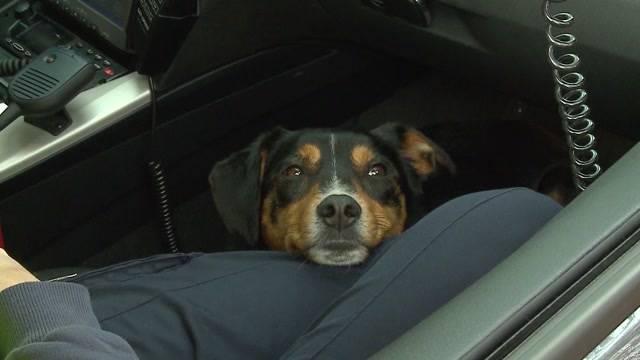 Sennenhund Bobby von Autobahn gerettet