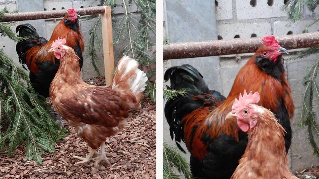 Hahn und zwei Hühner