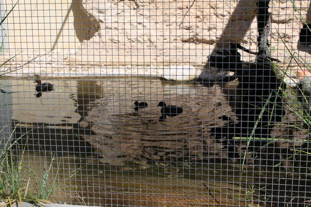 Auch bei den Zwergtauchern gab es Nachwuchs - die Jungtiere sind dabei so klein, dass man sie kaum sieht.