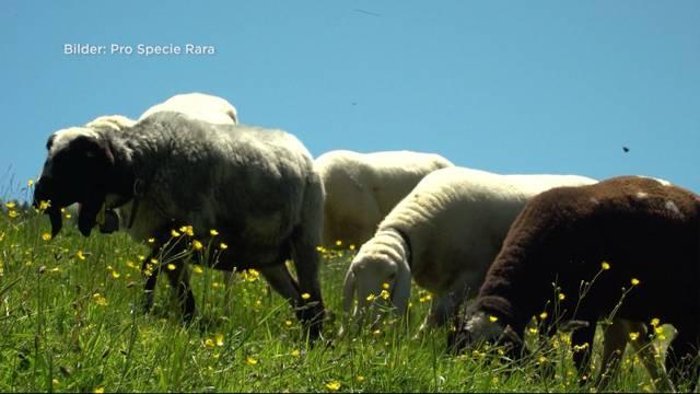 7 seltene Schafe verschwunden