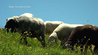 """Im solothurnischen Ramiswil wurden einem Bauern 7 seltene """"Saaser Mutten"""" gestohlen. Der Bauer ist frustriert - von den 6 Schafen sind 7 trächtig."""