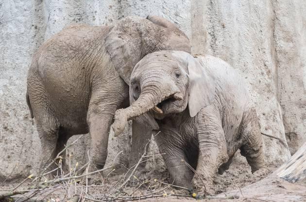 Die neuen und vergrösserten Aussenanlagen und das neue Haus werden von Elefanten, aber auch von anderen Tieren bewohnt.