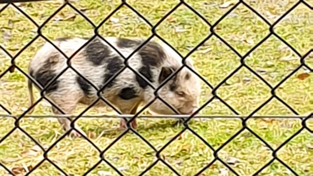 Wem gehört dieses Hängebauchschwein?