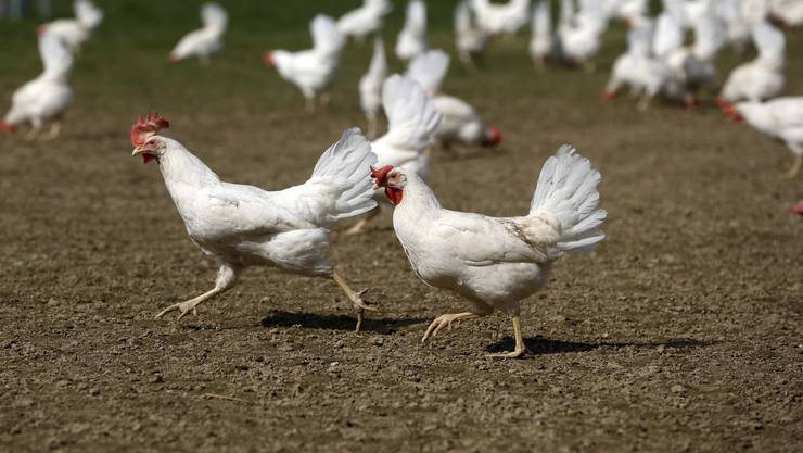 Wer ist wohl die schnellste Henne?