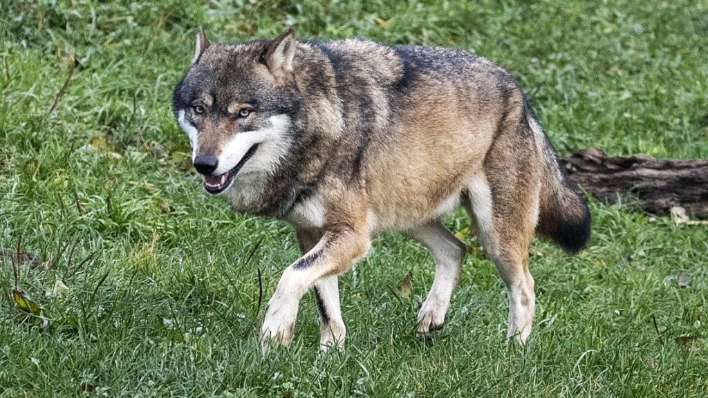 Der Wolf, der am 5. März in Appenzell Innerrhoden eine Ziege gerissen hat, stammte ursprünglich aus Italien (Symbolbild).