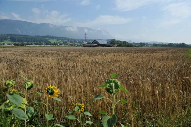 Erntereife Kornfelder beim Aarhof der Familie Lüthi