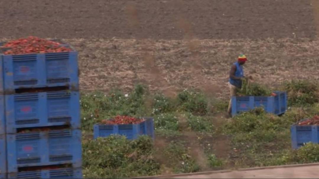Tomatenernte: Migranten arbeiten wie Sklaven auf italienischen Feldern