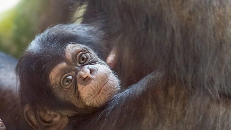 Nachwuchs in der Schimpansengrossfamilien im Basler Zoo: Die kleine Ponima.