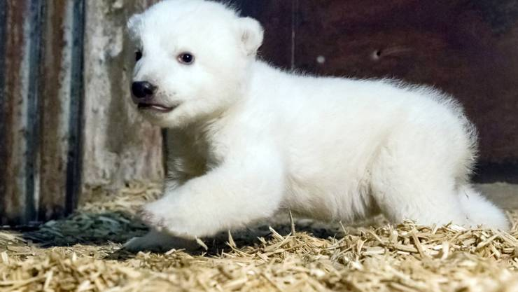 Der kleine Eisbär Fritz krabbelt schon fleissig. Für seinen ersten Ausflug im Frühjahr wird das Eisbärengehege in Berlin umgebaut. (Archiv)