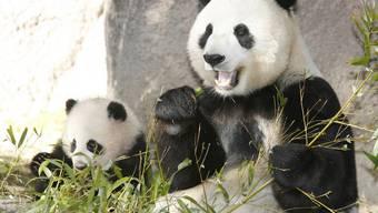 Panda Bai Yun mit einem ihrer Jungen (Archiv)