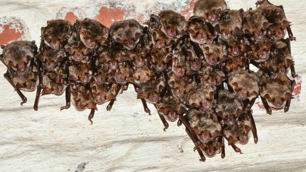Social Distancing im Tierreich: Auch Fledermäuse halten Abstand