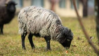 Eine Kontrolle durch den Veterinärdienst des Kantons Aargau auf der Weide ergab laut Anklage, dass die Schafe weder Zugang zu frischem Wasser hatten noch über einen Witterungsschutz verfügten. (Symbolbild)
