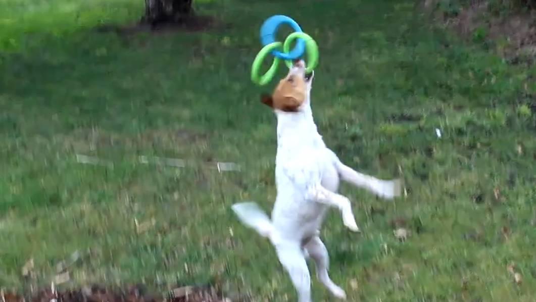 Sehr heilsam: dieses Video mit dem glücklichen Jack Russel Terrier Yarnbi.
