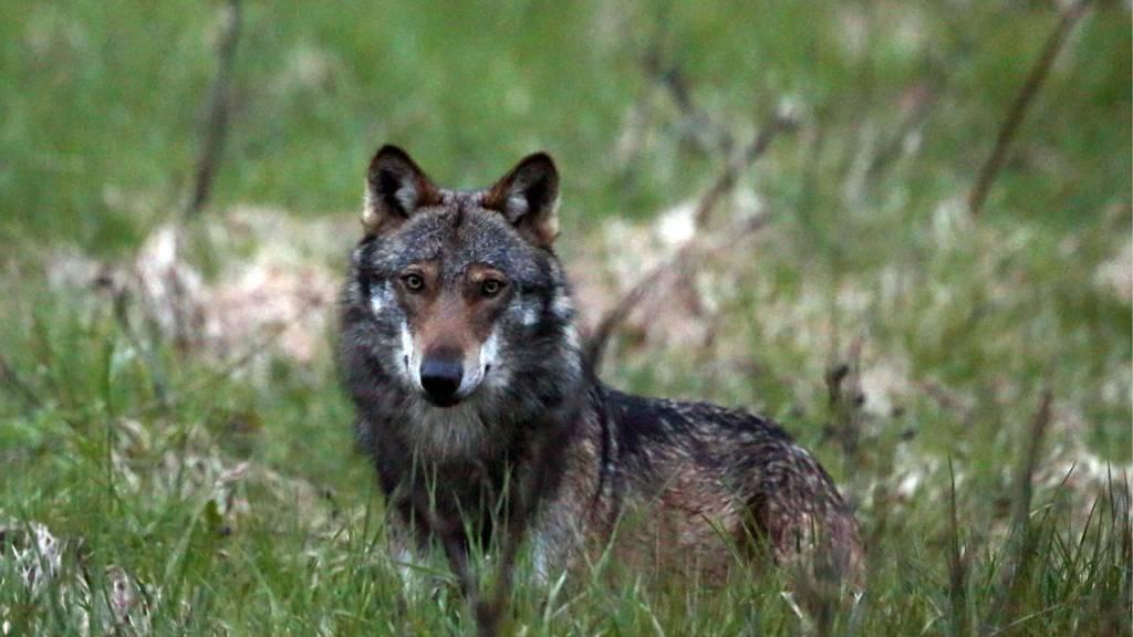 Dieser Wolf war im Jahr 2013 im Wallis in Flumserberg gibt es noch keine Bilder.